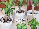 yucca plant with big ceramic pot