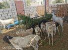 للبيع اغنام صوماليات