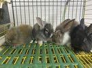 ارانب هولنديه للبيع    Dutch rabbits