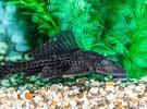 Pleco Fish(Algae Eater)
