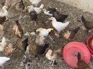 دجاج عماني للبيع العمر قريب شهريه
