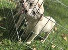 Labrador mix husky for sell