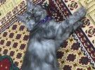 قطة انثى شانشيلا عمر 6 اشهر
