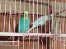 مجموعة الطيور البادجي جاهزين للإنتاج