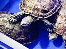 نموذج  البيع النوع:Caspian turtle  برمائيالعدد :  4العمر :  غير معروف التعري