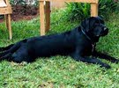 labrador black male pure 100%