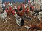 دجاج ديوك للبيع