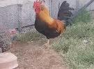 دجاج حبحب عماني