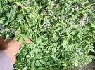 للبيع جت أخضر عماني