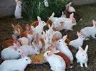 ارانب تصلح للتربية او الذبح