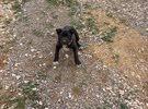 كلبه انثى بيتبول عمرها شهرين ونص