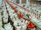 للبيع دجاج مستورد من البرازيل
