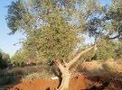 اشجار زيتون كبير ومتوسط.