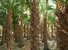 متخصصون في مجال بيع وتوريد وزراعة النخيل الواشنطونيا الزينه بجميع انواعه ومقاسات