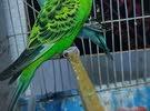 زوج طيور حب لبيع مثل ما واضحات بل صوره