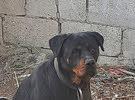 كلب أنثى روت وايلر العمر سنه ونص