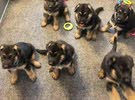German Shepherd Puppies Available