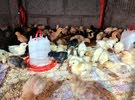 صيصان دجاج عماني فرنسي