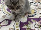 قطة انثى نوعها سكوتش فولد