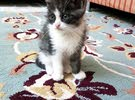 2 male Sherazi kitten 700 Sar.