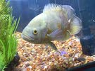 سمكة اوسكر و اروانا