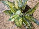 نباتات ظل السعر داخل الصوره