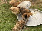 لاصحاب التميز سلالات دجاج للبيع