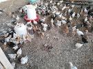يتوفر لدينا صيصان عمر شهر 500 بيسه فقط ودجاج عماني بياض وديكه 3 ريال للحبه