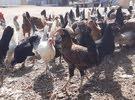 دجاج محلي كمية محدودة