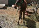 حصان عربي  عمره 8شهور