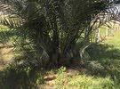 أشجار نخيل جميع الأنواع والأصناف