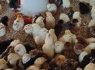 صيصان مهجن عماني فرنسي ودجاج بياض