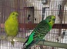 breeding pair of budgie