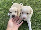 puppys جراوي