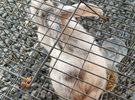 للبيع أرنب ذكر الصحة ممتاز جدا و إنتاج الحجم الكبير