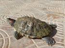 للبيع سلحفاة برمائية red eared slider turtle