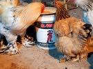بيض دجاج براهما ضمان  شوف الوصف