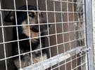 كلب جيرمان شبر حجم ضخم للبيع أو للبدل