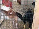ديك ودجاجة باكستانية للبيع