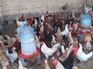 دجاج عمانية للبيع