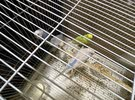 4 Budgies for sale with strong big cage