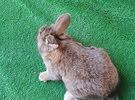 ارانب هولندي على فرنسي من سلالات طيبه وأحجام ممتازه