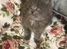 british long hair male kitten