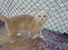 kittens for sale قطط للبيع