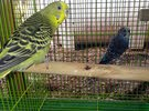 100% breeding pair of budgie