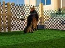 German Shepard Showline for mating only