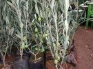 يوجد لدينا جميع انواع الاشجار من زينه ولوزيات وحمضيات للاستفسار 0776924987