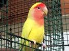 رنگ لايت للبيع أو للمراوسة مع طير