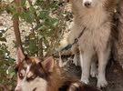 كلاب هاسكي لونك هير لون احمر فول