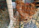 دجاجه براهما على وشك بيض